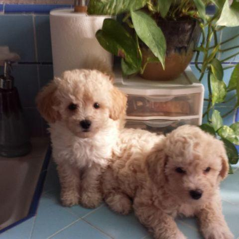 ... Portuguese Water Dog Poodle Toy Or Tea Cup Mix Puppy For Adoption In