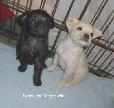 Toy Poodle/Pug/Boston Terrier mix puppy for sale in Campbell, New York