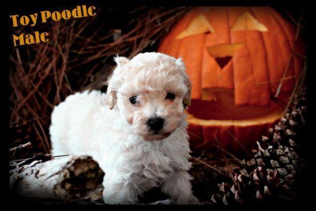 Toy Poodle Puppies - 4 males available - taking deposits