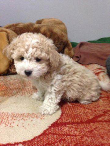 toy poodle puppies - 9 weeks old