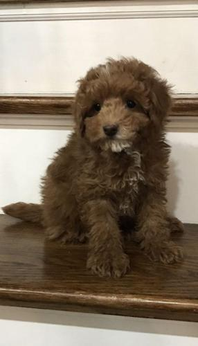 Toy Poodle Puppies New York – Wow Blog