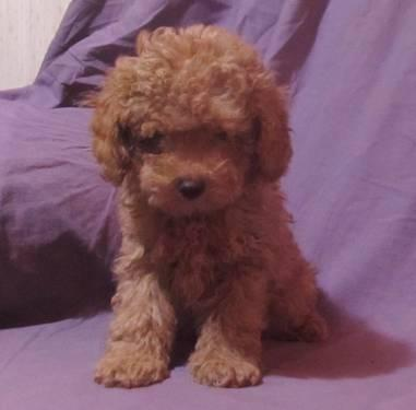 Toy Poodle Puppies Tampa Fl – Wow Blog