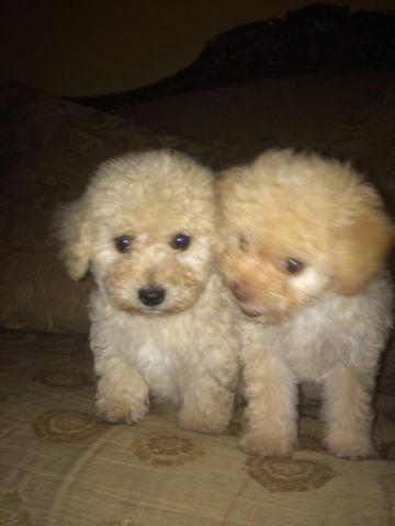 French poodle for sale in san antonio