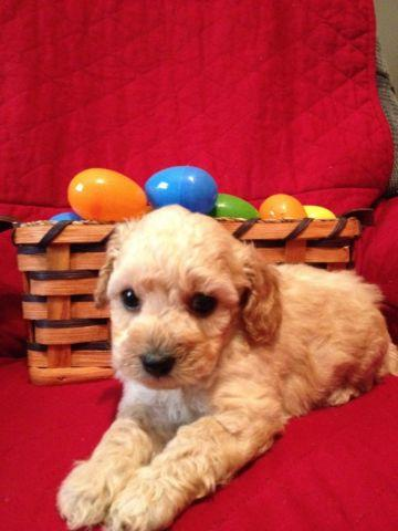 Toy Poodle Puppies - Apricot and Black - CKC registered