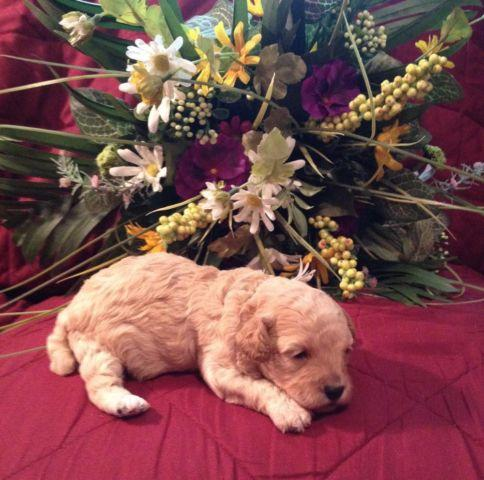 Toy Poodle Puppies - Apricot Boys - CKC registered