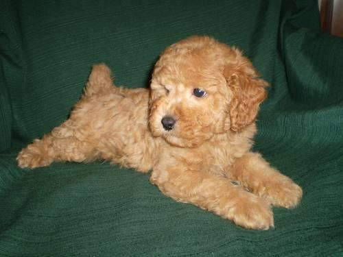 Toy Poodle Puppies Dark Apricot And Light Apricot Boys Ckc