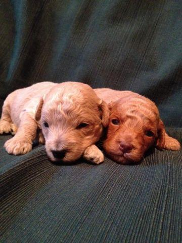 Toy Poodle Puppies - Dark Apricot and Light Apricot