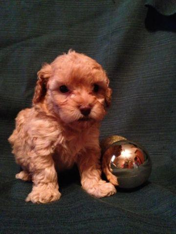 Toy Poodle Puppies - Dark Apricot - Males - AKC