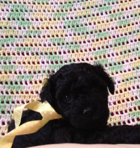 Toy Poodle Puppies - Females - Black - CKC registered