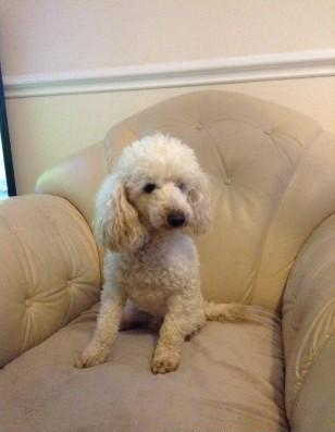 Toy Poodle Puppies For Sale For Sale In Ashburn Virginia