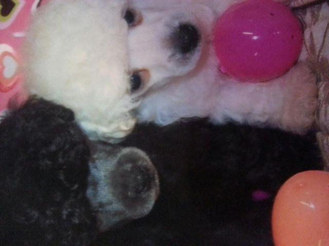Toy Poodle Puppies Reduced Due To Surgery For Sale In