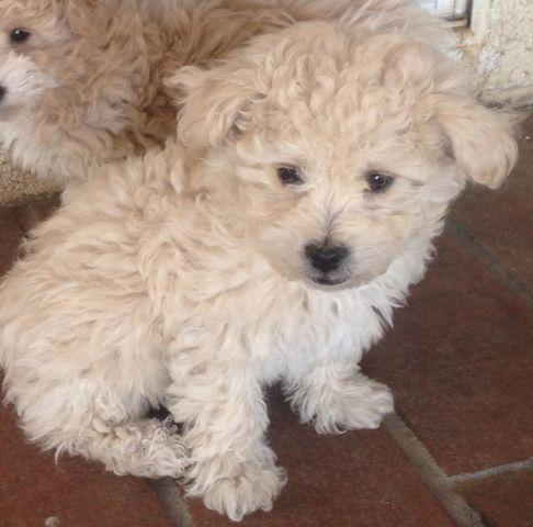 toy poodle puppy - 10 weeks old