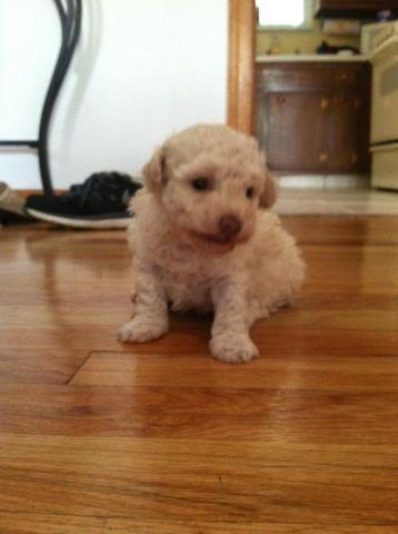 Toy Poodle Puppy 8 Weeks Old For Sale In Dover Township