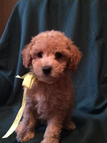 Toy Poodle Puppy - AKC registered Dark Apricot Boy -