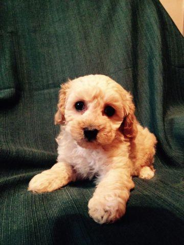 Toy Poodle Puppy - Apricot Boy - CKC - Big Teddy Bear