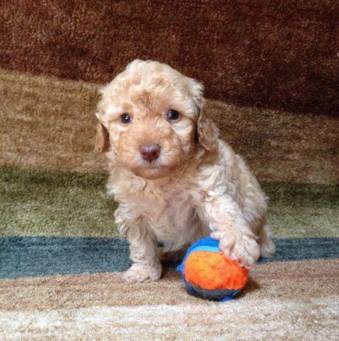 Toy Poodle Puppy - Apricot Boy - CKC registered -