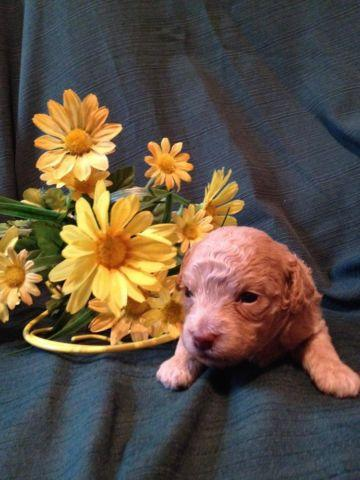 Toy Poodle Puppy - Apricot Female - CKC - Taking