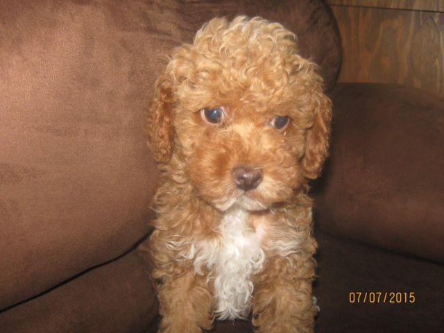 Toy Poodle Puppy -- Buster -- 11 Weeks Old