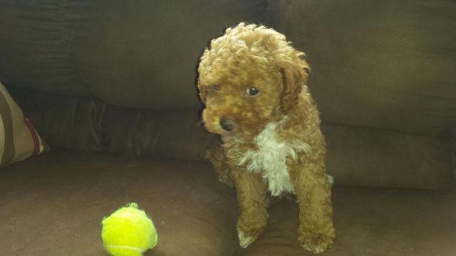 Toy Poodle Puppy -- Buster -- 8 Weeks Old