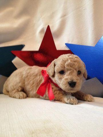Toy Poodle Puppy - Champagne Boy - CKC registered -