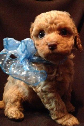 Toy Poodle Puppy - DARK APRICOT - BOY - CKC