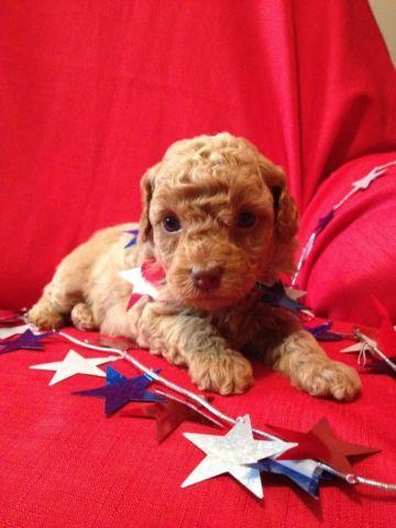 Toy Poodle Puppy - Dark Apricot Boy - CKC registered