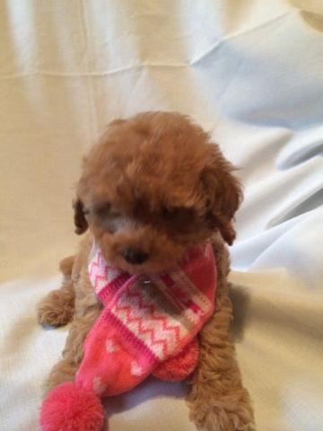 Toy Poodle Puppy - Dark Apricot Female - AKC registered