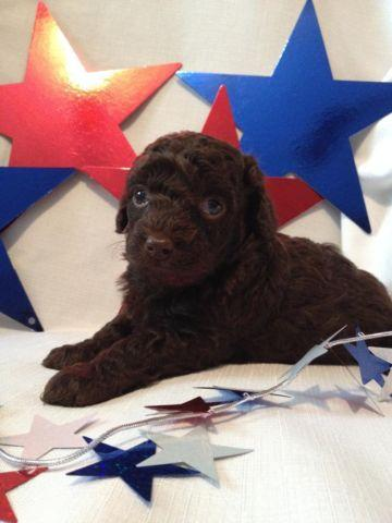 Toy Poodle Puppy - Dark Chocolate Boy - CKC registered