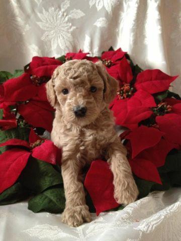 Toy Poodle Puppy - Dark Cream Female - CKC registered