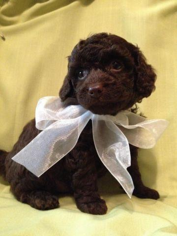 Toy Poodle Puppy - DARK DARK CHOCOLATE - BOY - CKC