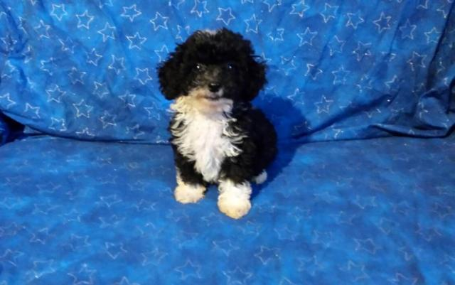 Toy Poodle Puppy for adoption- 8 weeks old