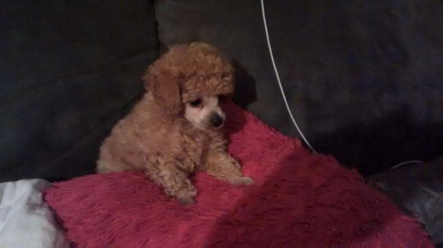 Toy poodle puppy for adoption-8 weeks