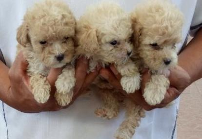Toy Poodle For Sale In Texas Classifieds Buy And Sell In