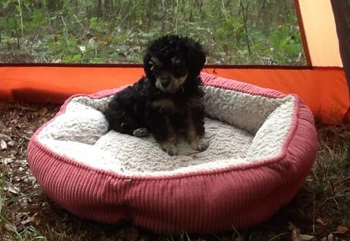 Toy Poodle Puppy for Sale - Adoption, Rescue for Sale in