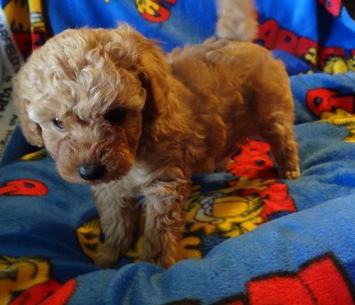 Toy Poodle Puppy For Sale Adoption Rescue For Sale In