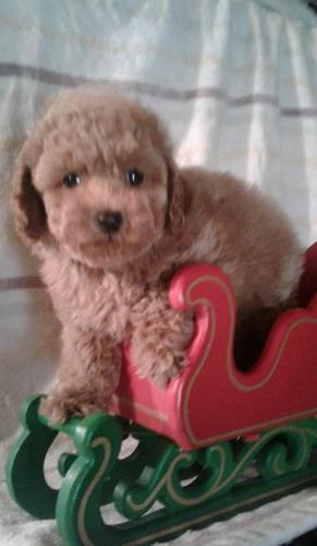 Toy Poodle Puppies Pets And Animals For Sale In Tennessee