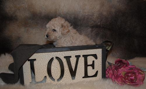 Toy Poodle Puppy for Sale - Adoption, Rescue