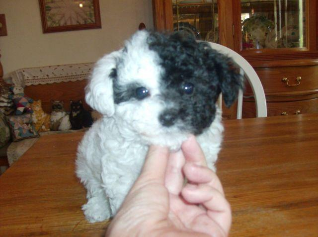 Toy Poodle Puppy Little Fluff Ball Of Love Rare Parti