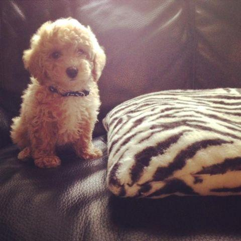 Toy Poodle Puppy Pure Breed Akc Registered Full Package
