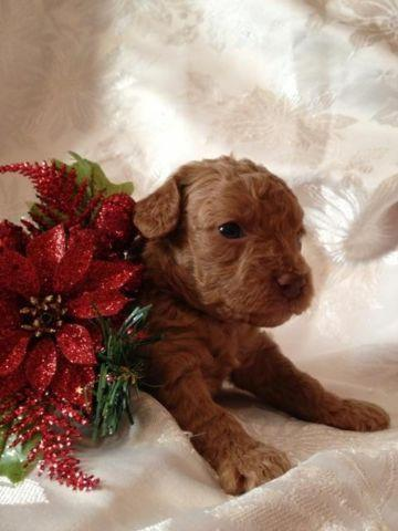 Toy Poodle Puppy - Red Female - CKC registered Ready