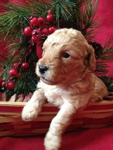 Toy Poodle Puppy - Red Female - CKC registered - Ready