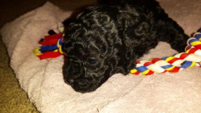 Toy Poodle Puppy -- Sissy -- 4 Weeks Old