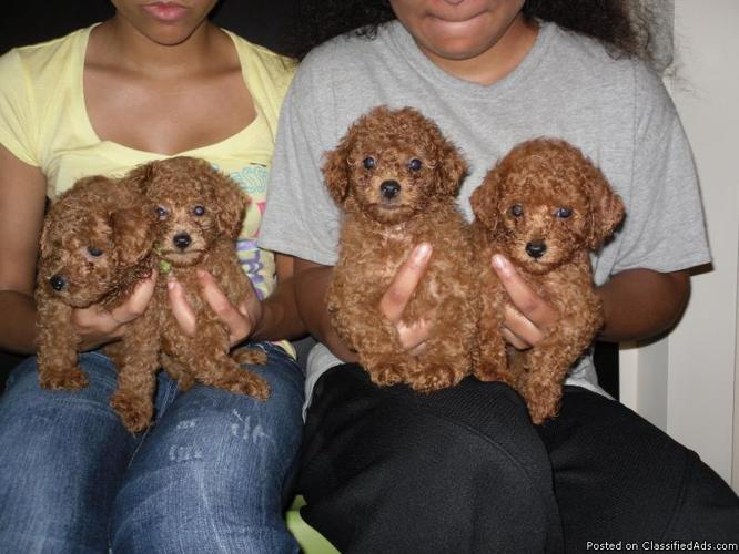 Toy Poodle Pups For In Flint