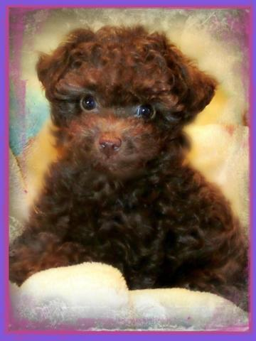 Toy Poodle Ready To Go Now Chocolate Tiny Toy Poodle