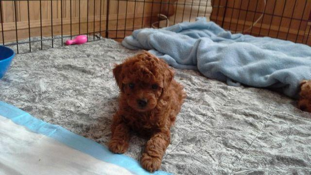 Toy Poodle Female Pets And Animals For Sale In Washington