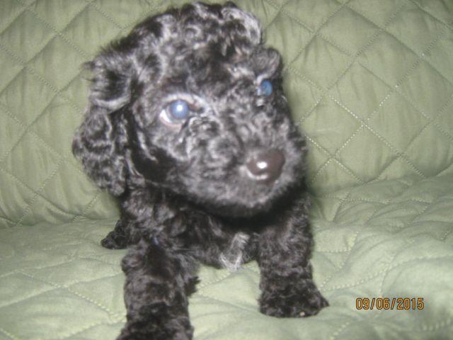 Toy Poodle -- Smokie -- 7 Weeks Old