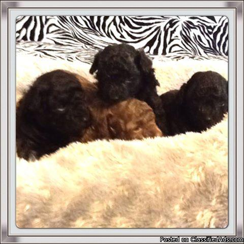 toy poodle tiny black brown chocolate