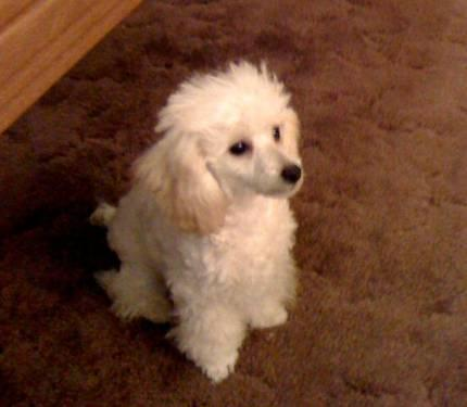 ** TOY Poodle White Female ONLY $500 00 **