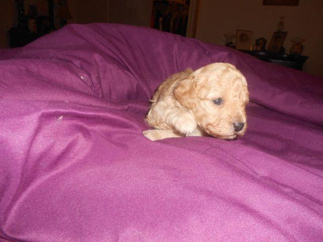 Toy Poodles -born 03/07/2015