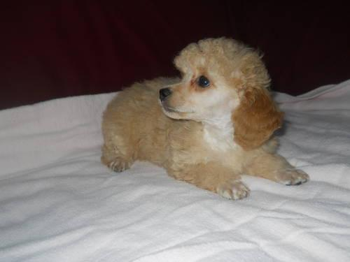 Toy Poodles - Apricot On HOLD awaiting deposit